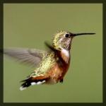 colibriN.jpg