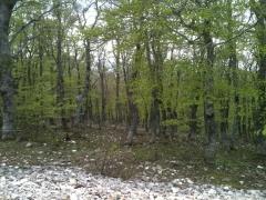 Forêt de hêtres.JPG