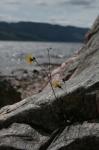 fleur de rocher.jpg