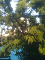 Mimosa au retour.jpg