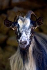 chèvre-corse.jpg