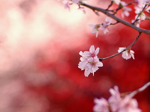 Cerisier du japon.jpg