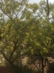 Mon mimosa.JPG