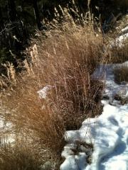 herbe sur neige.jpg