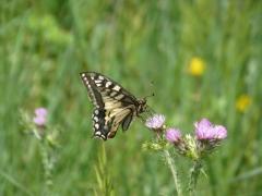 P1150454 Papillon fleur - copie.JPG