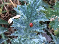 IMG_2352 COCCINELLE.JPG